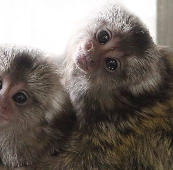 Marmosets in the study